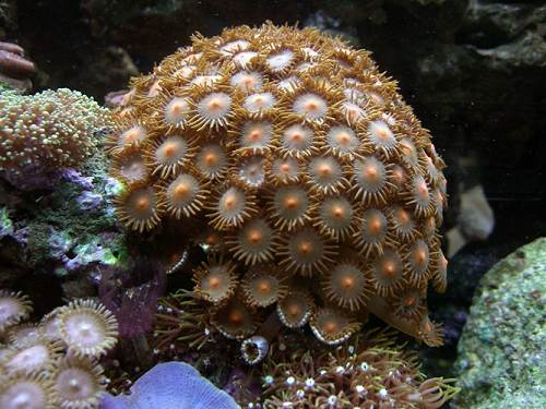 17 Colony of Zoanthids